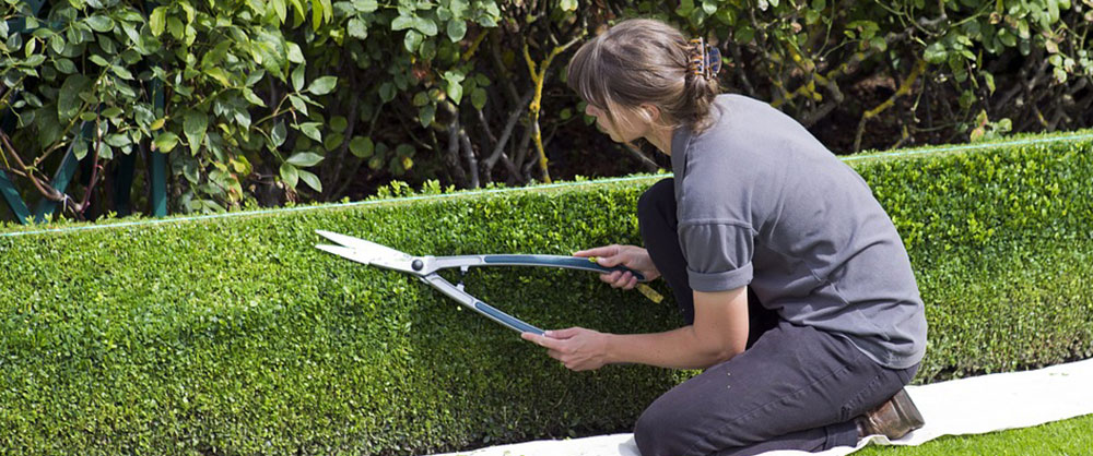 Woman pruning a boxwood hedge
