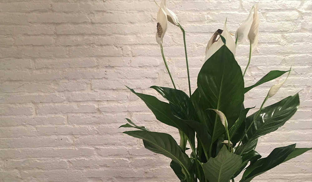 peace lily air cleaning