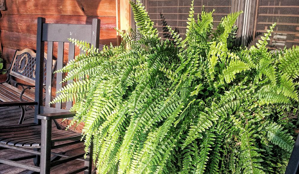 boston fern air cleaning