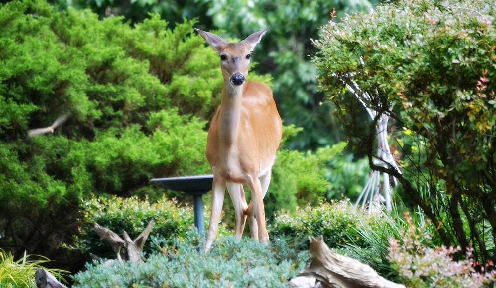 pest in the ontario garden deer