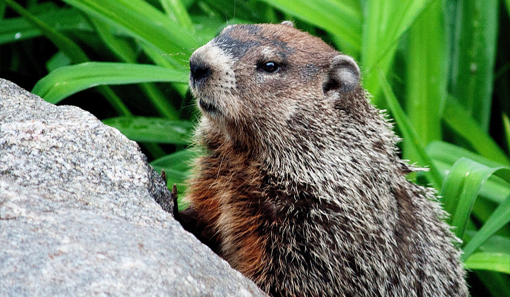 pest in the ontario garden groundhog