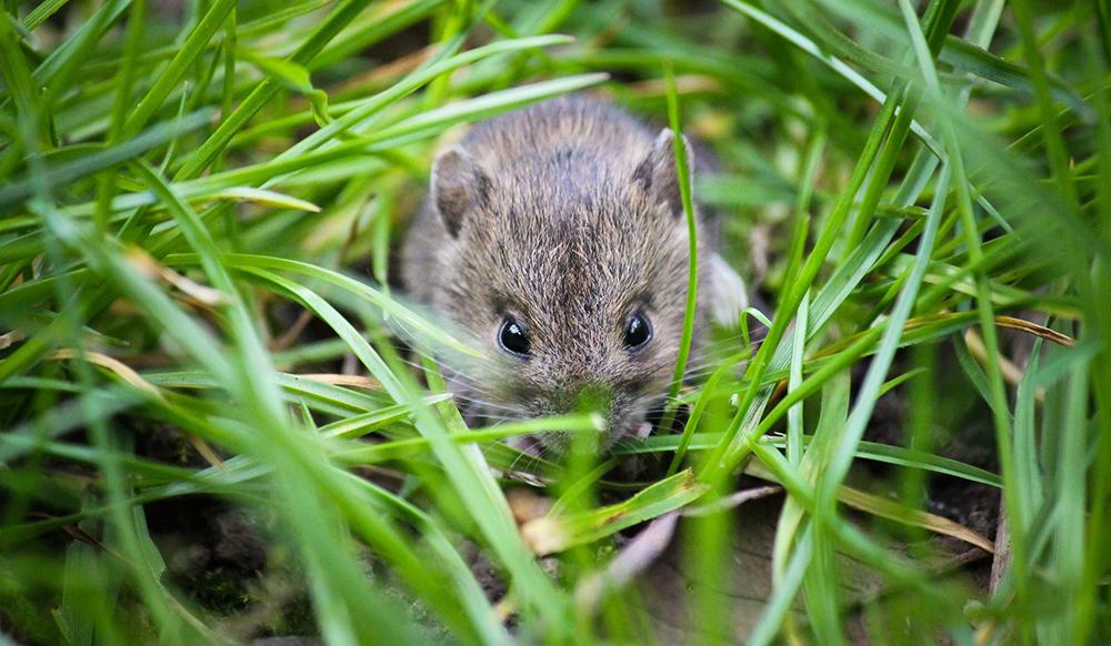 pest in the ontario garden mouse
