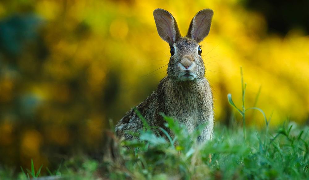 pest in the ontario garden rabbit