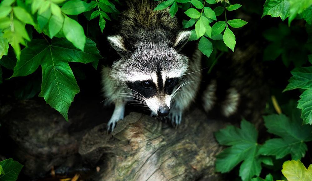 pest in the ontario garden raccoon