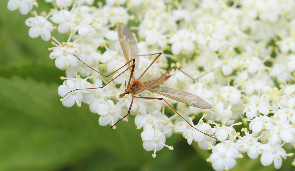 mosquito pollinating