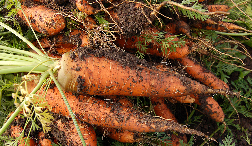 vegetable gardening carrots