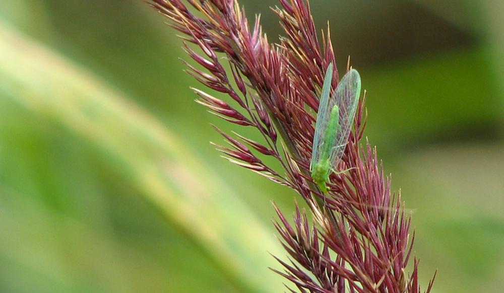 pollinator lacewing
