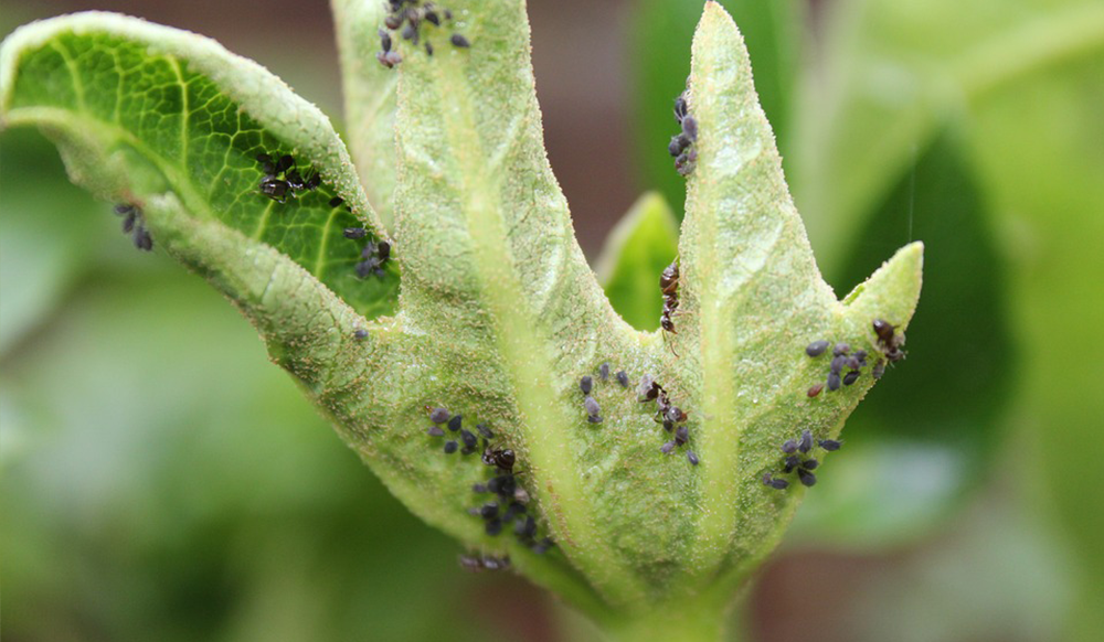 aphid damage curling leaves