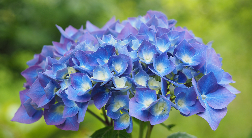 photo of blue hydrangea-royal-city-nursery-guelph