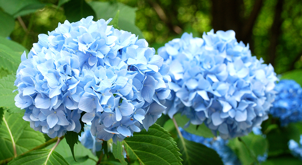 photo of blue hydrangea-royal-city-nursery-guelph