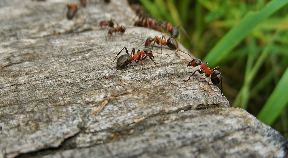 royal-city-nursery-guelph-pest-control-ants
