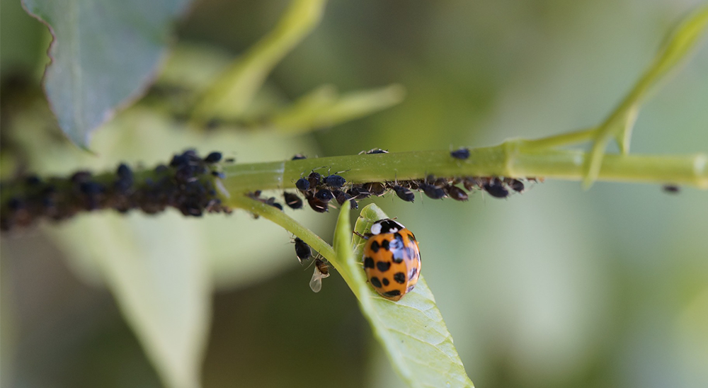 royal-city-nursery-guelph-pest-control-aphids