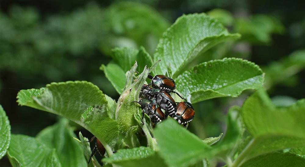 royal-city-nursery-guelph-pest-control-japanese-beetle