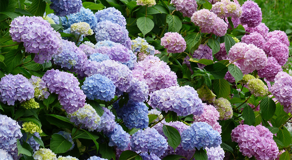 photo of pink and blue hydrangea-royal-city-nursery-guelph