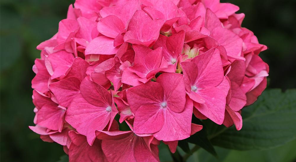 photo of pink hydrange-