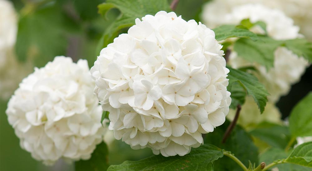 photo of white hydrangea-royal-city-nursery-guelph