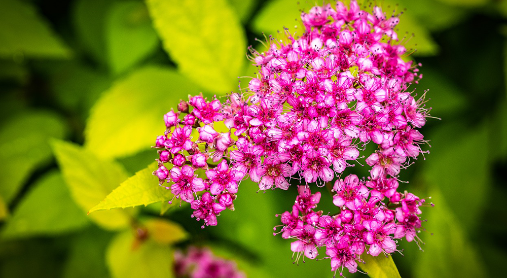 royal city nursery guelph flowering shrubs spirea