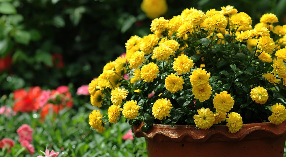 royal city nursery guelph fall chrysanthemum care