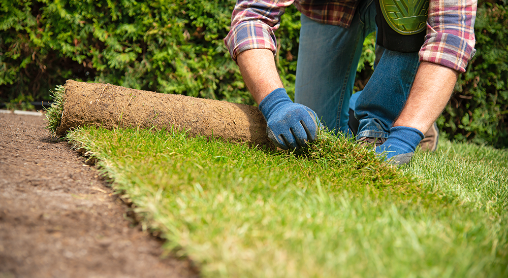 royal city nursery guelph fall lawn care guide laying sod