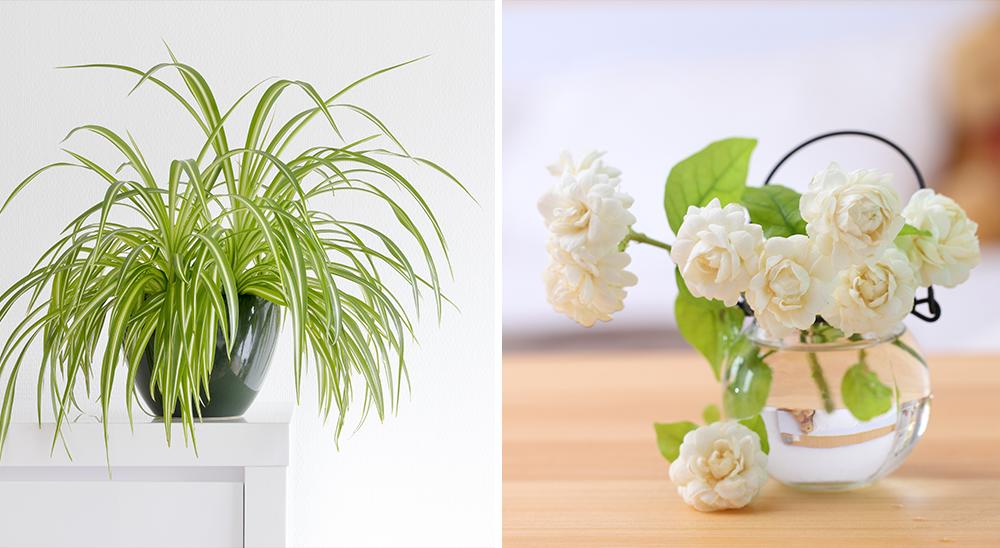 royal city nursery guelph top 6 desk plants spider plant jasmine