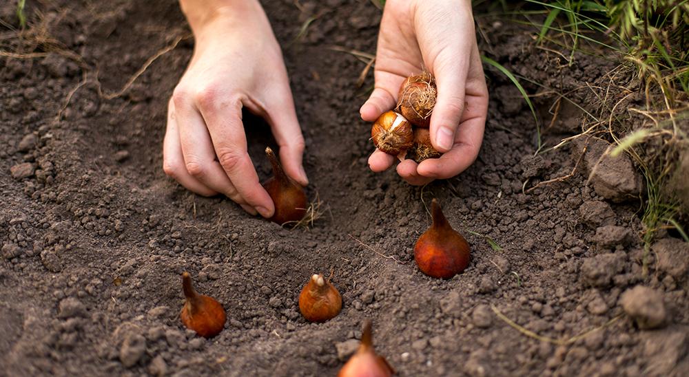 royal city nursery guelph when to plant bulbs ontario