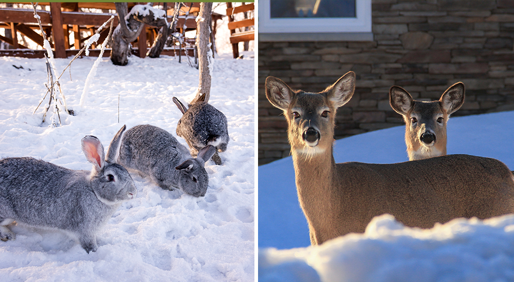 royal city nursery guelph 6 tips for winterizing your landscape deer rabbits