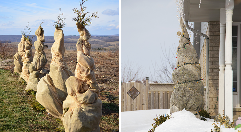 royal city nursery guelph 6 tips for winterizing your landscape wrapping trees