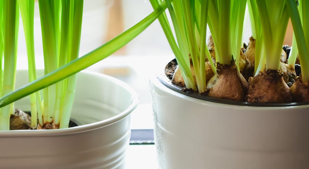 royal city nursery guelph how to force bulbs indoors hyacinths muscari