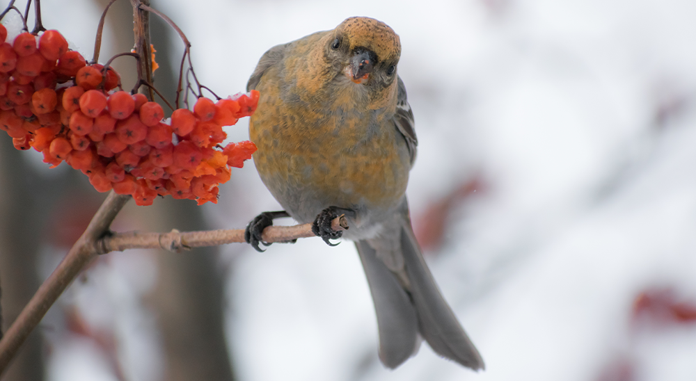 royal city nursery guelph how to attract winter birds red berries