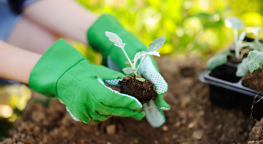 royal city nursery guelph how to start seeds indoors transplanting seedlings
