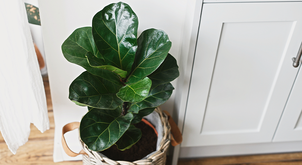 royal city nursery guelph meet your match houseplant personality fiddle leaf fig