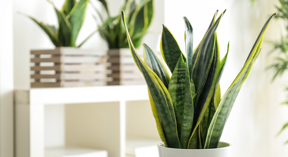 royal city nursery guelph meet your match houseplant personality snake plant