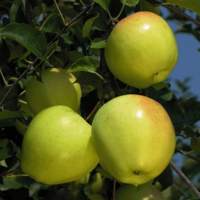 Apple, Mutsu