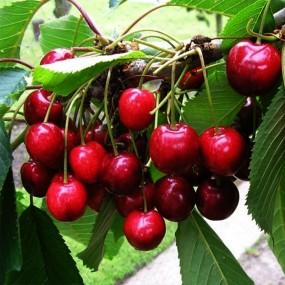 Cherry, Bing