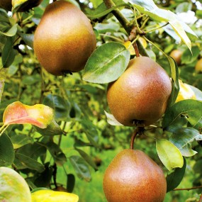 Pear, 4-in-1 Combination